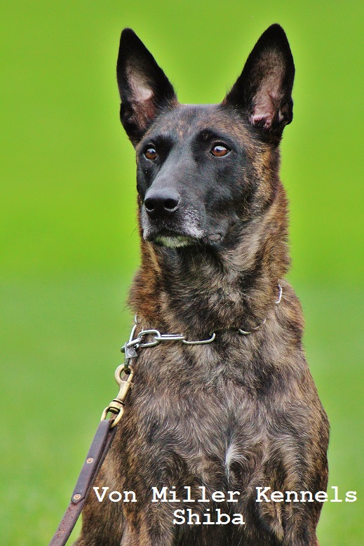Dutch Shepherd Puppies For Sale In Illinois
