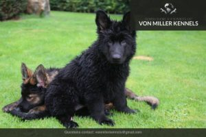 VonMillerKennels_GermanShepherd-46