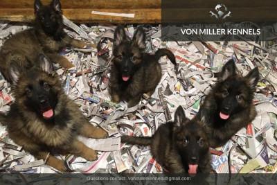 VonMillerKennels_puppieshomepage2