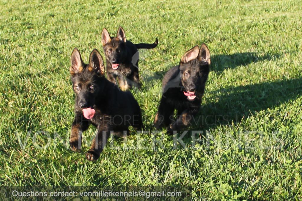 Puppy Kennel Dogs for Sale at Von Miller Kennels