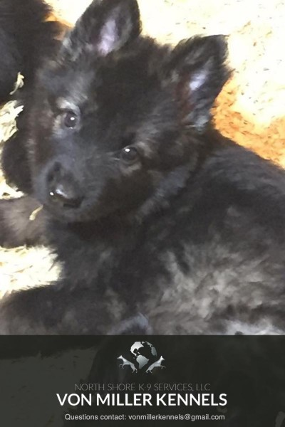 VonMillerKennels_09-2018-GERMANSHEPHERD-PUPPIES-1