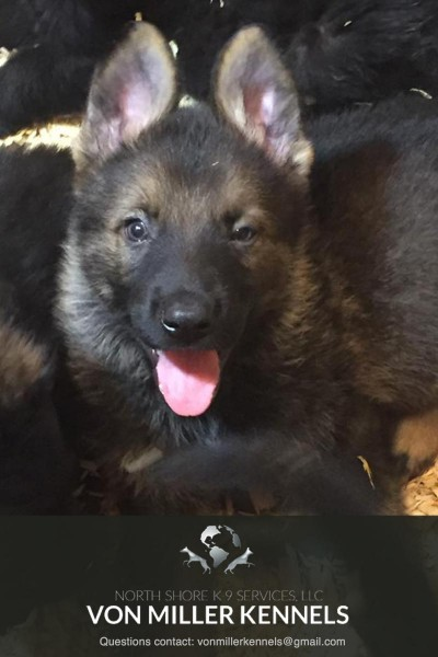 VonMillerKennels_09-2018-GERMANSHEPHERD-PUPPIES-2