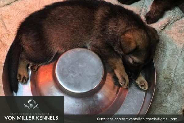VonMillerKennels_09-2018-GERMANSHEPHERD-PUPPIES-7
