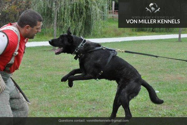 VonMillerKennels_Dutch-Shepherd-10