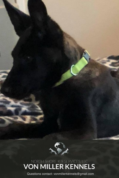 VonMillerKennels_Dutch-Shepherd-2-2