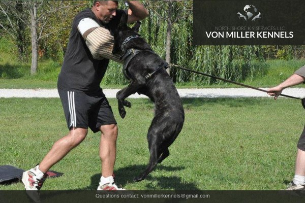 VonMillerKennels_Dutch-Shepherd-2