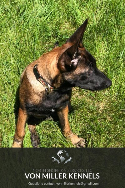 VonMillerKennels_Dutch-Shepherd-4-4