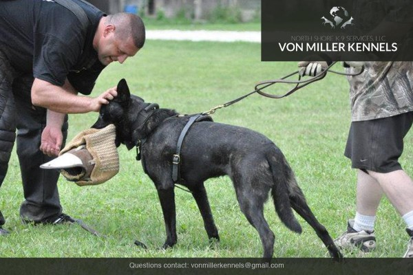 VonMillerKennels_Dutch-Shepherd-4