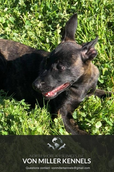 VonMillerKennels_Dutch-Shepherd-5-5