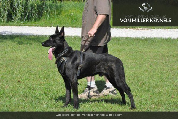 VonMillerKennels_Dutch-Shepherd-5