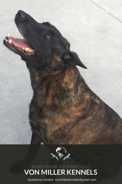 VonMillerKennels_Dutch-Shepherd-7-7