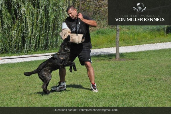 VonMillerKennels_Dutch-Shepherd-8