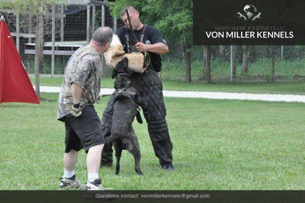 VonMillerKennels_Dutch-Shepherd-9