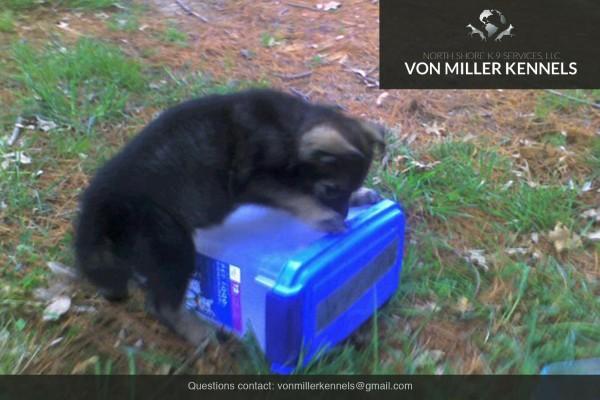 VonMillerKennels_Armageddon-German-Shepherd-5