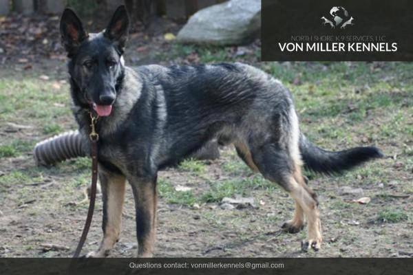 VonMillerKennels_Armageddon-German-Shepherd-6