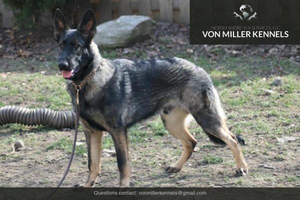 VonMillerKennels_Armageddon-German-Shepherd-7
