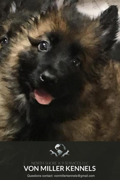 VonMillerKennels_JULY-2017-GermanShepherd-Litter-1