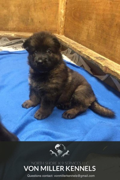 VonMillerKennels_JULY-2017-GermanShepherd-Litter-11