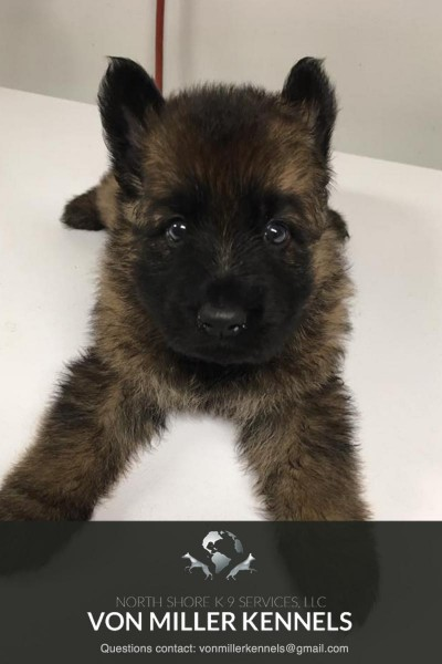 VonMillerKennels_JULY-2017-GermanShepherd-Litter-12