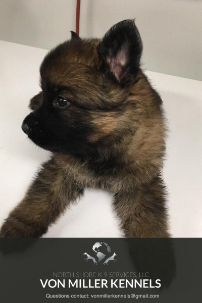 VonMillerKennels_JULY-2017-GermanShepherd-Litter-13