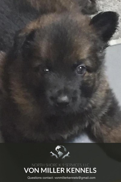 VonMillerKennels_JULY-2017-GermanShepherd-Litter-5