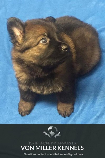 VonMillerKennels_JULY-2017-GermanShepherd-Litter-8