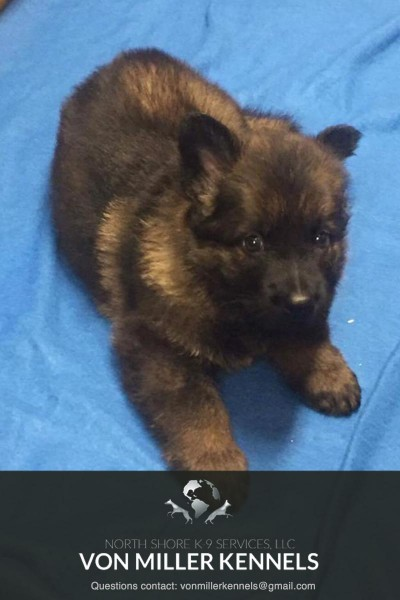 VonMillerKennels_JULY-2017-GermanShepherd-Litter-9