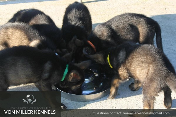 VonMillerKennels_pupppies_group_3 (1)
