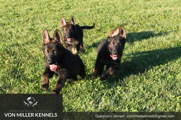VonMillerKennels_pupppies_group_4 (1)