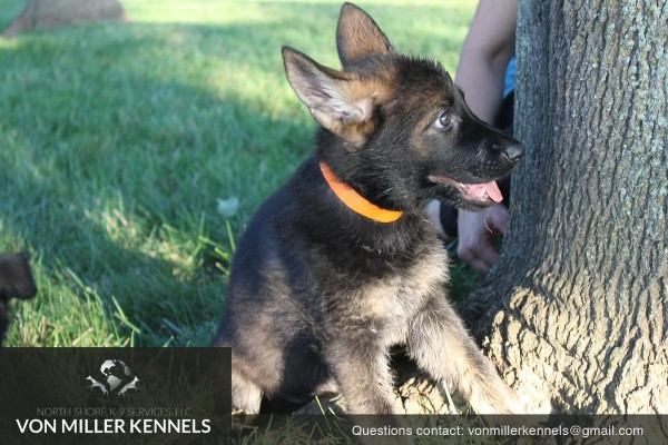 VonMillerKennels_pupppies_orange_2 (1)