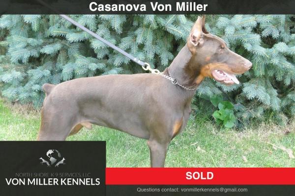 VonMillerKennels_CasanovaVonMiller_DOBERMAN-3