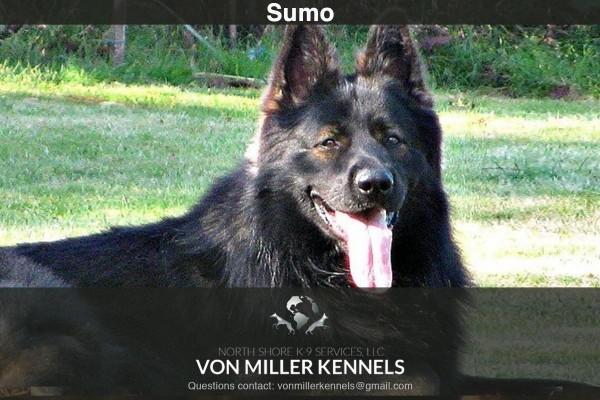 VonMillerKennels_Sumo-2